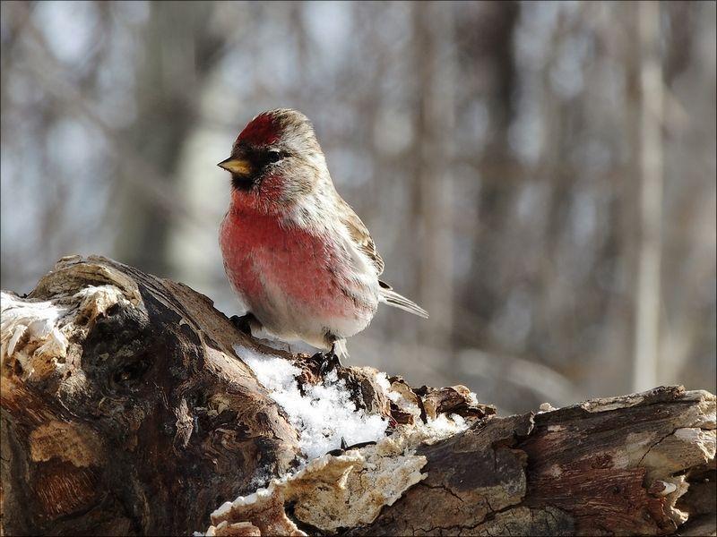 Un beau petit oiseau poitrine rose for Petit oiseau avec houpette